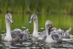 Los cisnes jovenes están nadando juntos en el río de Hancza, Polonia Imagenes de archivo