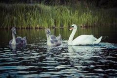 Los cisnes jovenes están nadando juntos en el río de Hancza, Polonia Fotos de archivo