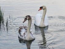 Los cisnes miran a la izquierda Foto de archivo