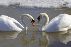 Los cisnes mudos en amor La forma del corazón Fotos de archivo