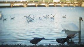 Los cisnes nadan en la charca del parque de la ciudad almacen de video