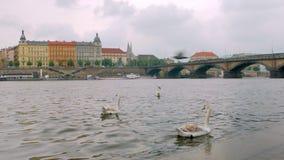 Los cisnes salvajes están flotando cerca de la costa de la ciudad de Praga almacen de video