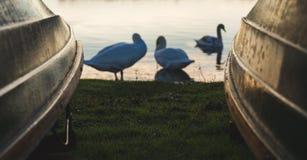 Los cisnes se sientan entre un barco que rema - Hornsea, Reino Unido foto de archivo