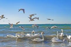 Los cisnes y las gaviotas están luchando para el pan fotos de archivo libres de regalías