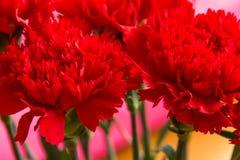 Los claveles rojos se cierran para arriba Foto de archivo