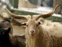 Los claxones de la cabra son largos y hermosos imagenes de archivo