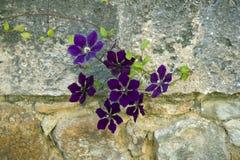 Los clematises violetas en la pared de piedra Fotografía de archivo