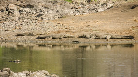 Los cocodrilos del Nilo en el riverbank en Kruger parquean, Suráfrica fotografía de archivo libre de regalías