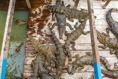 Los cocodrilos hambrientos salen de la comida que espera del agua para en una granja fotos de archivo libres de regalías