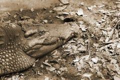 Los cocodrilos son sanguijuela vieja en el cuerpo Imágenes de archivo libres de regalías