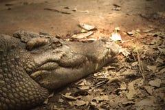 Los cocodrilos son sanguijuela vieja en el cuerpo Imagen de archivo