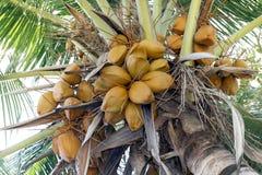 Los cocos broncean en la palma de coco del árbol, coco marrón del rey joven en la plantación del jardín, fruta marrón amarilla de imágenes de archivo libres de regalías