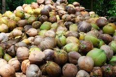 Los cocos están mintiendo en la pila Una pila enorme de cocos sabrosos jovenes verdes Apenas del árbol Imágenes de archivo libres de regalías