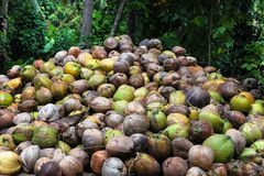 Los cocos están mintiendo en la pila Una pila enorme de cocos sabrosos jovenes verdes Apenas del árbol Fotos de archivo libres de regalías