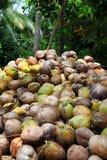 Los cocos están mintiendo en la pila Una pila enorme de cocos sabrosos jovenes verdes Apenas del árbol Fotos de archivo