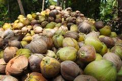 Los cocos están mintiendo en la pila Una pila enorme de cocos sabrosos jovenes verdes Apenas del árbol Imagen de archivo libre de regalías