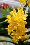 Los colores amarillos de las orquídeas del Phragmipedium florecen en fondo verde de la hoja imagen de archivo