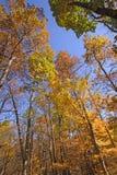 Los colores de la caída en los árboles altos Imágenes de archivo libres de regalías