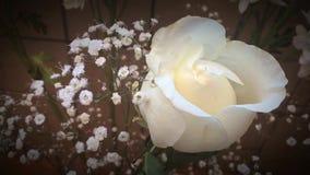 Los colores de la naturaleza, rosa blanca