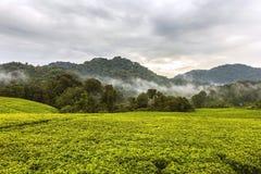 Los colores de la puesta del sol en el cielo y la plantación de té que acompaña con los colores Fotos de archivo libres de regalías