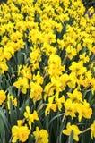 Los colores del narciso varían de amarillo al blanco Fotos de archivo libres de regalías