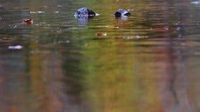 Los colores del otoño reflejaron en el agua apacible de un río en Escocia durante una tarde almacen de metraje de vídeo