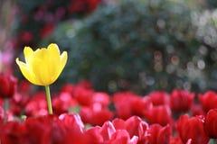 Los colores del tulipán Foto de archivo libre de regalías