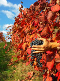 Los colores del viñedo Imagen de archivo