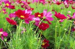 Los colores hermosos de Margenta del foco selectivo del cosmos florecen en jardín Imágenes de archivo libres de regalías