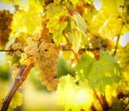 Los colores maduros de las uvas les gusta el oro - Riesling Fotografía de archivo libre de regalías