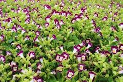 Los colores magentas del foco selectivo o púrpuras hermosos del pequeño fondo florecen en jardín Imágenes de archivo libres de regalías