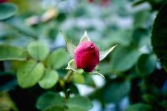 Los comienzos de una Rose Fotografía de archivo libre de regalías