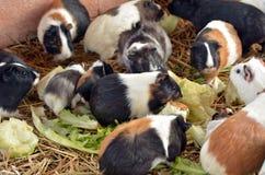 Los conejillos de Indias comen lechuga Imagenes de archivo