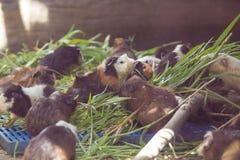 Los conejillos de Indias están comiendo la hierba Fotografía de archivo