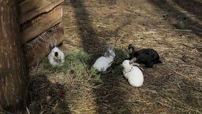 Los conejos blancos y negros jovenes se sientan en la tierra y comen en la granja metrajes