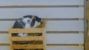 Los conejos comen el heno en granja almacen de metraje de vídeo