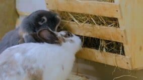 Los conejos comen el heno en granja metrajes