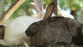Los conejos comen, los conejos grandes, conejos, conejos comen la hierba metrajes