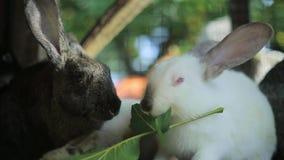 Los conejos comen, los conejos grandes, conejos, conejos comen la hierba almacen de video