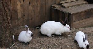 Los conejos corren en la tierra en una granja almacen de metraje de vídeo