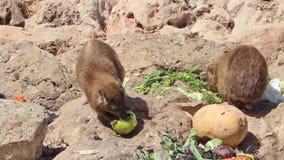 Los conejos de la montaña comen en un lugar previsto para alimentar metrajes