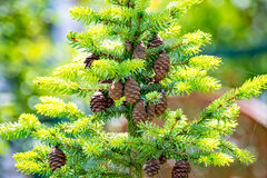 Los conos de un pino cuelgan en el árbol Foto de archivo
