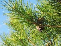Los conos del pino cuelgan en una rama contra un cielo azul fotografía de archivo libre de regalías