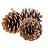Los conos del pino del cedro en la ramita son fondo blanco aislado Foto de archivo libre de regalías
