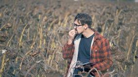 Los controles del hombre secaron las plantas del girasol, comiendo las semillas en tierras de labrantío Concepto del calentamient almacen de video