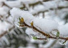 Los copos de nieve en los brotes verdes congelados del árbol se cierran para arriba Imágenes de archivo libres de regalías