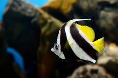 Los coralfish del banderín Fotografía de archivo libre de regalías