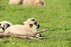 Los corderos lindos duermen abajo en el prado Imágenes de archivo libres de regalías