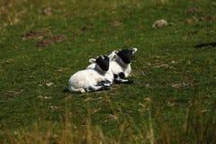 Los corderos Negro-hechos frente escoceses colocan disfrutar de la sol Fotografía de archivo libre de regalías