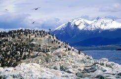Los cormoranes en rocas acercan al canal del beagle y tienden un puente sobre las islas, Ushuaia, la Argentina meridional Fotografía de archivo libre de regalías